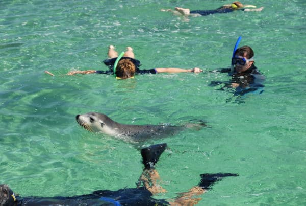 Swimming With Sea Lions At Baird Bay Kirkhope Aviation Baird Bay Swimming
