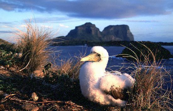 Lord Howe Island Masked Boobie Bird