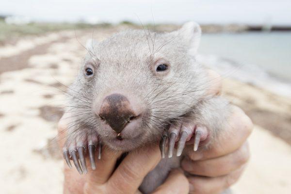 Baby Wombat (Vombatus Ursinus)