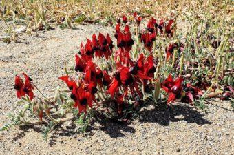Sturts Desert Peas, Broken Hill Keith Siler