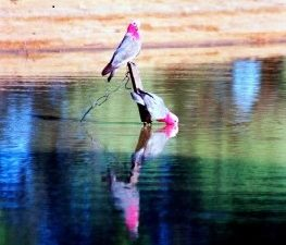 Galahs On Dam Charlotte Plains