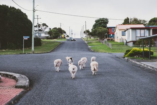 Sheep On The Road In Grassy, King Island