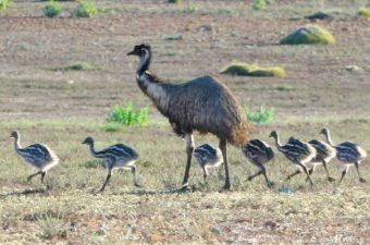 Wildlife Emu Family Gawler Ranges Safaris