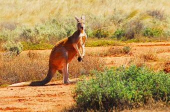 Wildlife Red Kangaroo Gawler Ranges Safaris