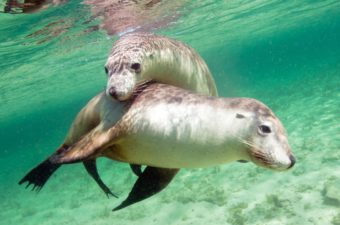 Wildlife Sea Lions Swimming Gawler Ranges Safaris
