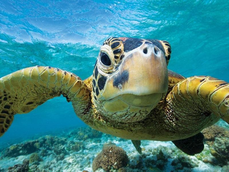Sea Turtle Lady Elliot Island CR Sean Scott Photography
