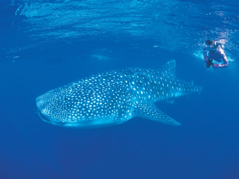 Snorkelling With A Whale Shark Rhincodon Typus